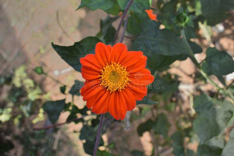 Calendula officinalis, die Ringelblume, gemeine Ringelblume oder schottische Ringelblume, ist eine Anlage in der Klasse Calendula stockbild