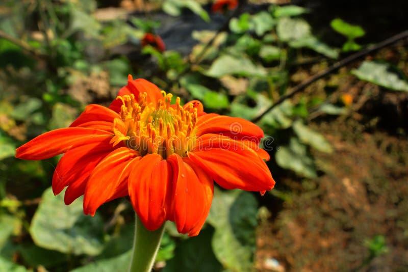 Calendula officinalis, die Ringelblume, gemeine Ringelblume oder schottische Ringelblume, ist eine Anlage in der Klasse Calendula lizenzfreie stockfotos
