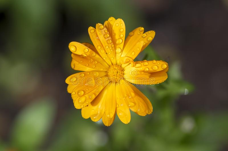 Calendula officinalis flowering plant, marigold orange flowers in bloom, orange flowerhead, morning dew drops stock images