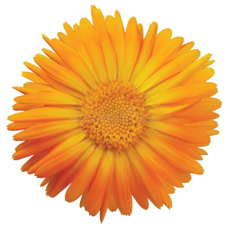 Calendula officinalis L il singolo capolino, dorato giallo arancio isolato ruddles i petali scozzesi del tagete del vaso comune,  fotografie stock