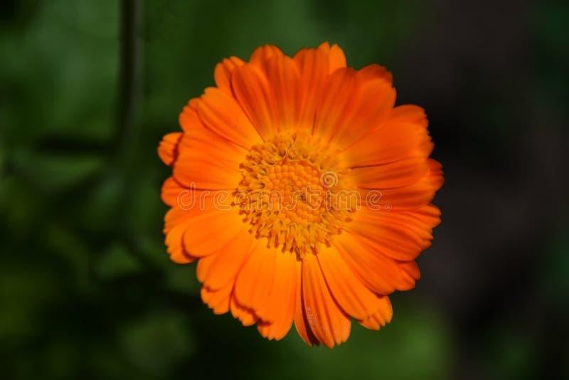 Calendula officinalis marigold orange flower top view  macro stock image