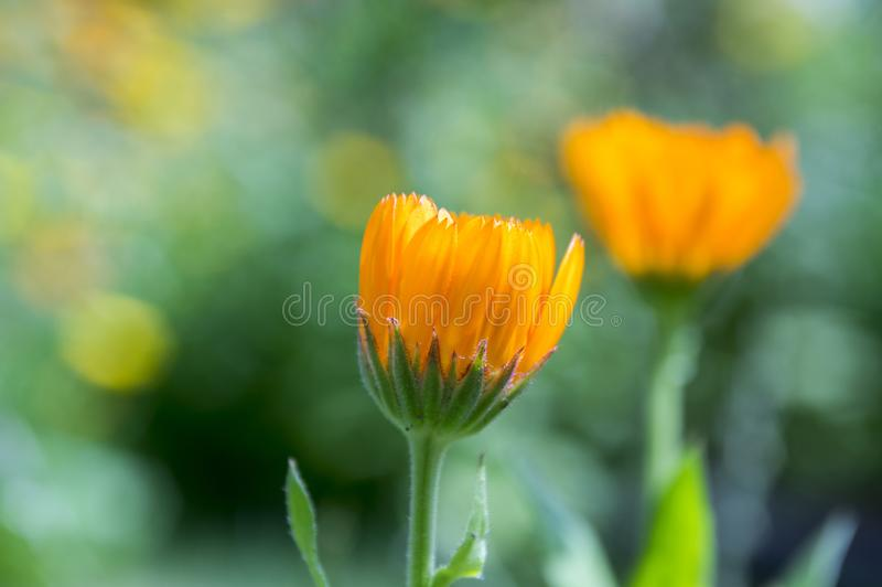 Calendula officinalis, marigold orange flowers in bloom royalty free stock image