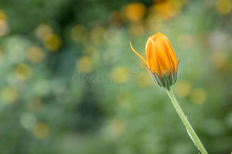 Calendula officinalis, marigold orange flowers in bloom stock photos