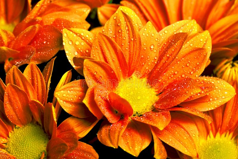 Calendula officinalis pomarańczowi obraz royalty free