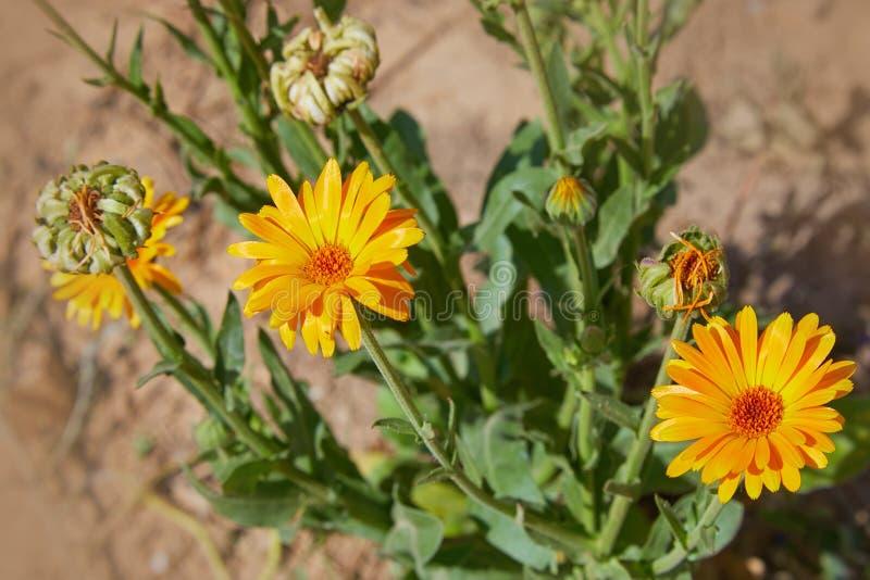 Calendula officinalis or Pot Marigold, Common Marigold, Scotch Marigold, Ruddles, Pot Marigold. Bright summer background with orange flowers of calendula stock photo