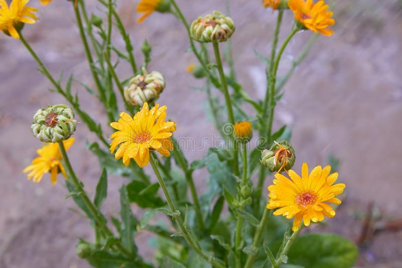 Calendula officinalis or Pot Marigold, Common Marigold, Scotch Marigold, Ruddles, Pot Marigold. Bright summer background with orange flowers of calendula royalty free stock photo