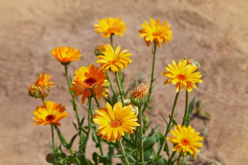 Calendula officinalis or Pot Marigold, Common Marigold, Scotch Marigold, Ruddles, Pot Marigold. Bright summer background with orange flowers of calendula stock photos