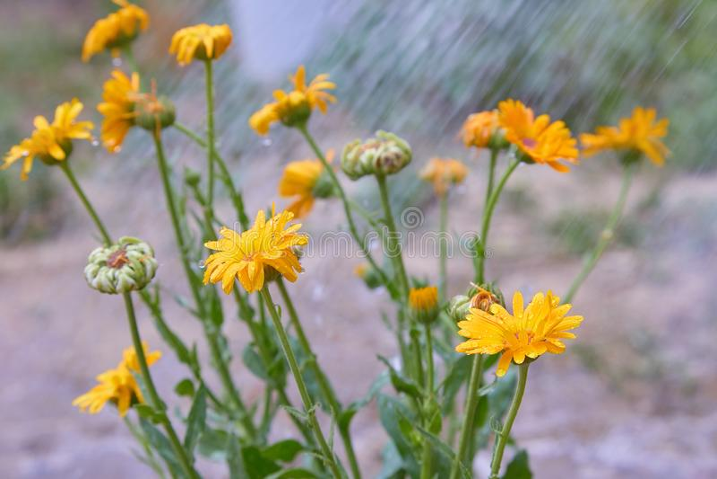 Calendula officinalis or Pot Marigold, Common Marigold, Scotch Marigold, Ruddles, Pot Marigold. Bright summer background with orange flowers of calendula stock image