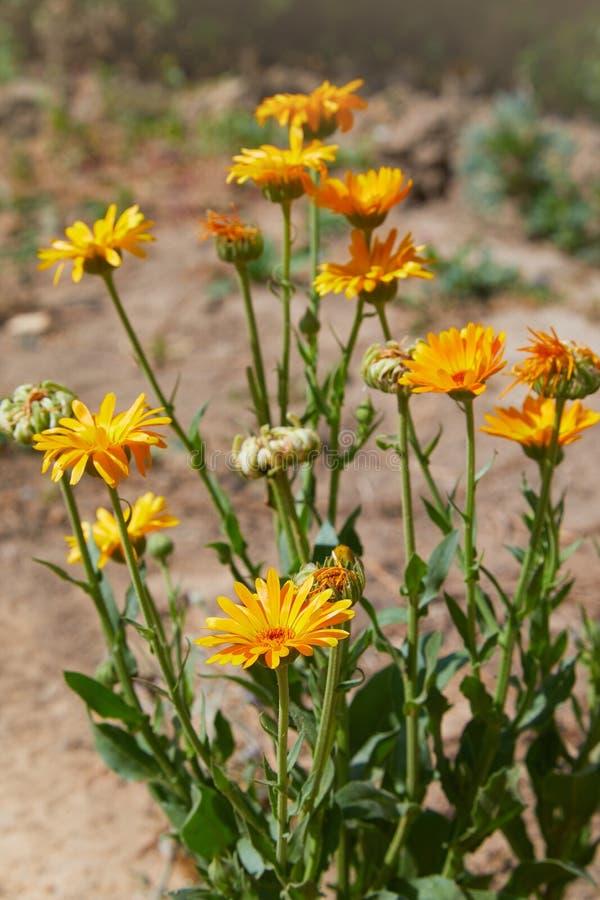 Calendula officinalis or Pot Marigold, Common Marigold, Scotch Marigold, Ruddles, Pot Marigold. Bright summer background with orange flowers of calendula stock photography