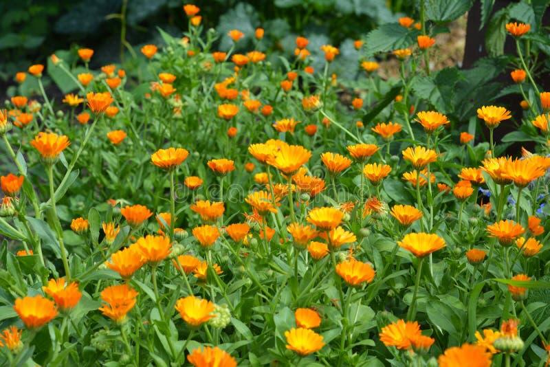Calendula officinalis or Pot Marigold, Common Marigold, Scotch Marigold, Ruddles, Pot Marigold. Calendula officinalis or Pot Marigold, Common Marigold, Scotch stock images