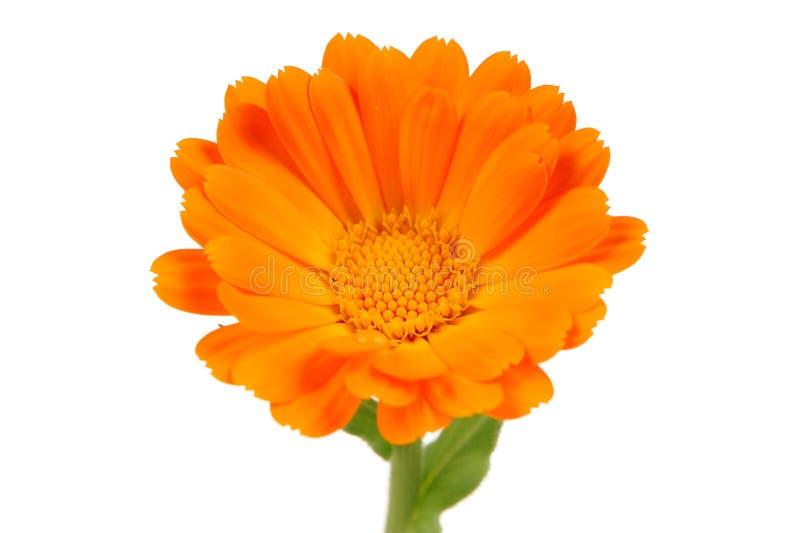 Calendula Officinalis (Pot Marigold) Flower on White Background royalty free stock photos