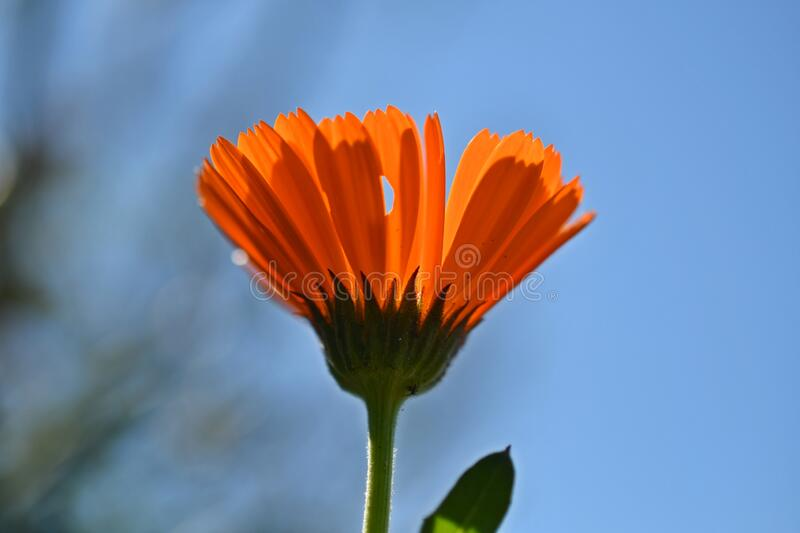 The pot marigold in the sky. Calendula officinalis, the pot marigold with holey petal, spring images stock images