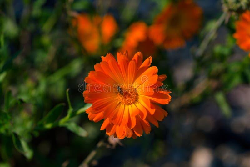 Calendula officinalis, Ringelblume, ruddles, Anlage der gemeinen Ringelblume in der Klasse Calendula des Familie Asteraceae stockfoto