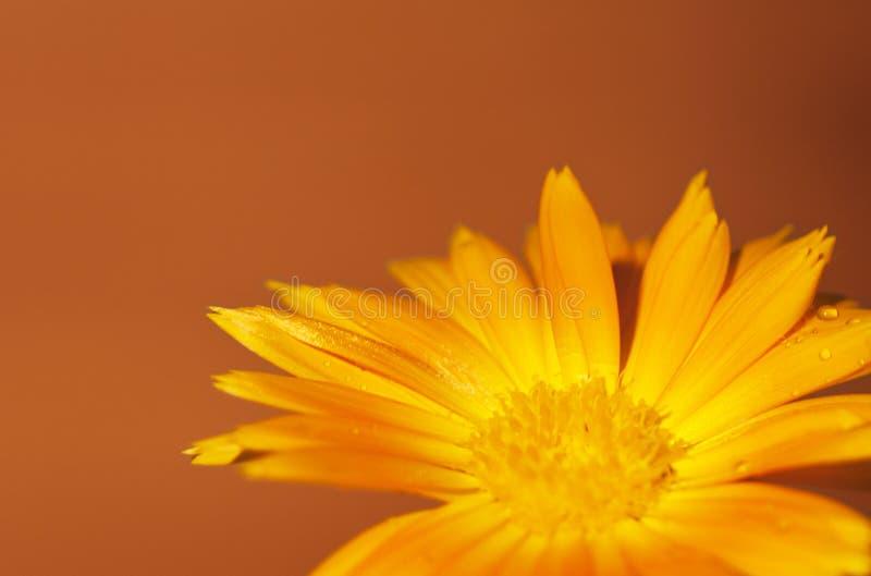 Calendula op een ocre oranje achtergrond stock afbeeldingen