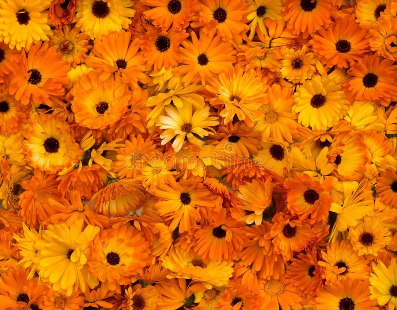 Calendula orange lumineux Officinalis de souci de pot de têtes de fleur image stock