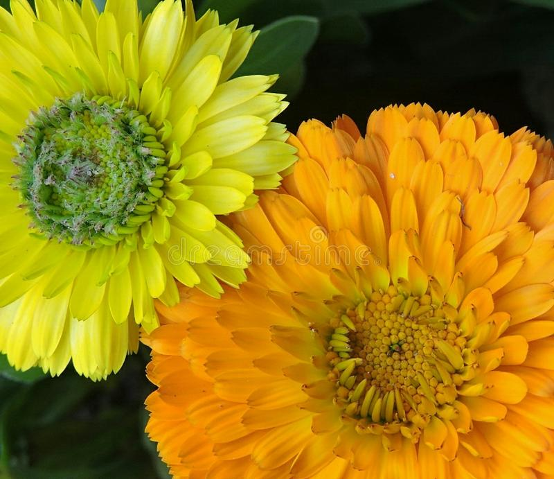 Calendula orange and yellow together royalty free stock images