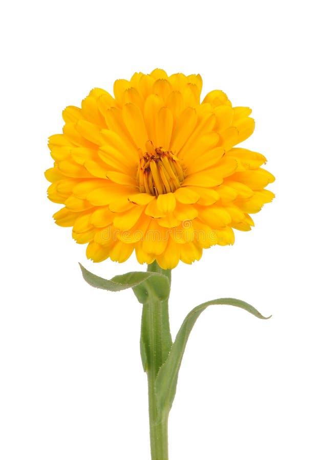 Calendula (Pot Marigold) Flower Isolated on White Background. A yellow double calendula officinalis (pot marigold) flower with stem isolated on a white royalty free stock images