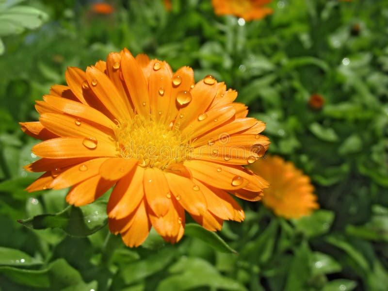 Calendula in raindrops royalty free stock image