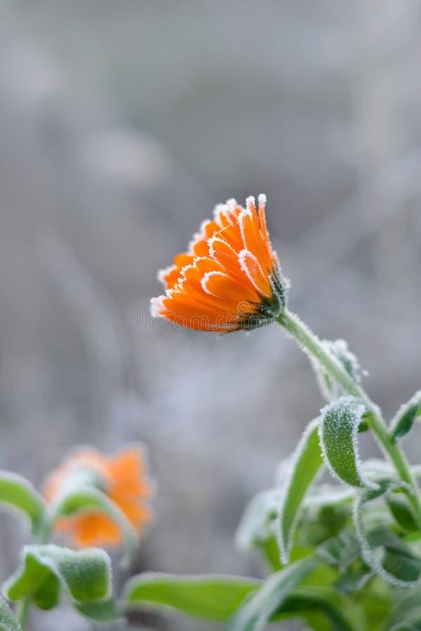 Calendula in rijp Geneeskrachtige installaties Helend kruid Bloemen van Goudsbloem stock foto