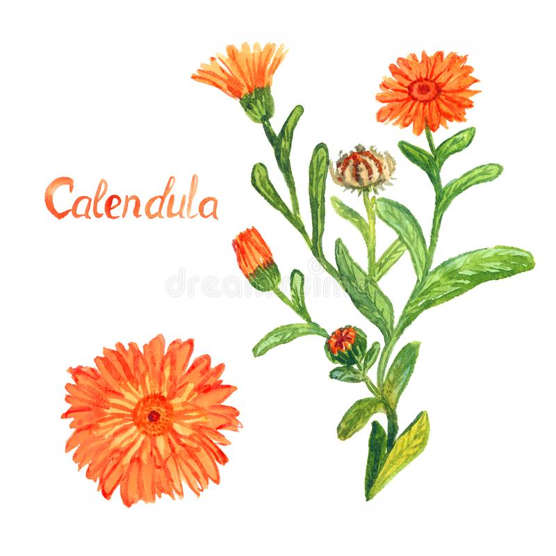Calendula stem with flowers and leaves, separate flower, isolated on white background hand painted watercolor illustration stock photography