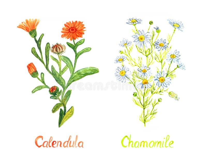 Calendula- und Kamillenanlagen mit den Blumen und Knospen, lokalisiert auf handgemalter Aquarellillustration des weißen Hintergru lizenzfreies stockbild