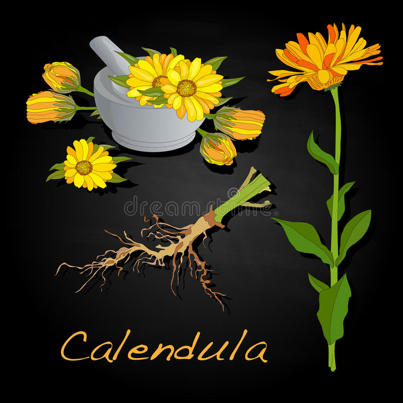 Download Calendula Vector Illustration Stock Vector - Image: 83714942