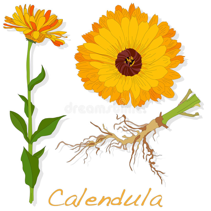 Download Calendula Vector Illustration Stock Vector - Image: 83713852