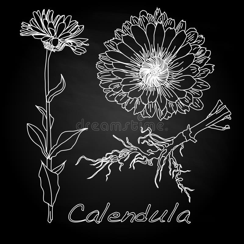 Download Calendula Vector Illustration Stock Vector - Image: 83714189