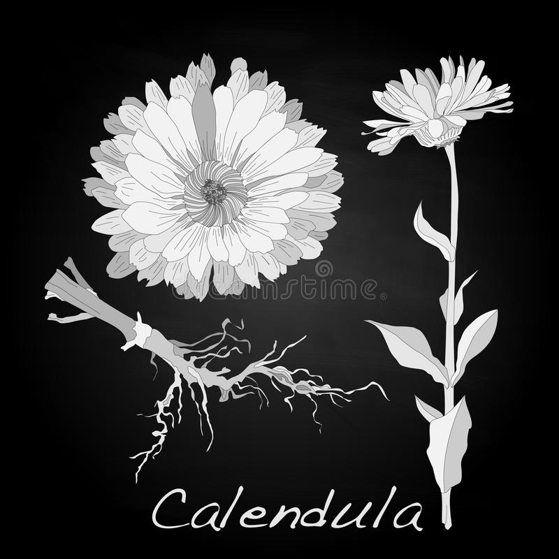 Download Calendula Vector Illustration Stock Vector - Image: 83715020