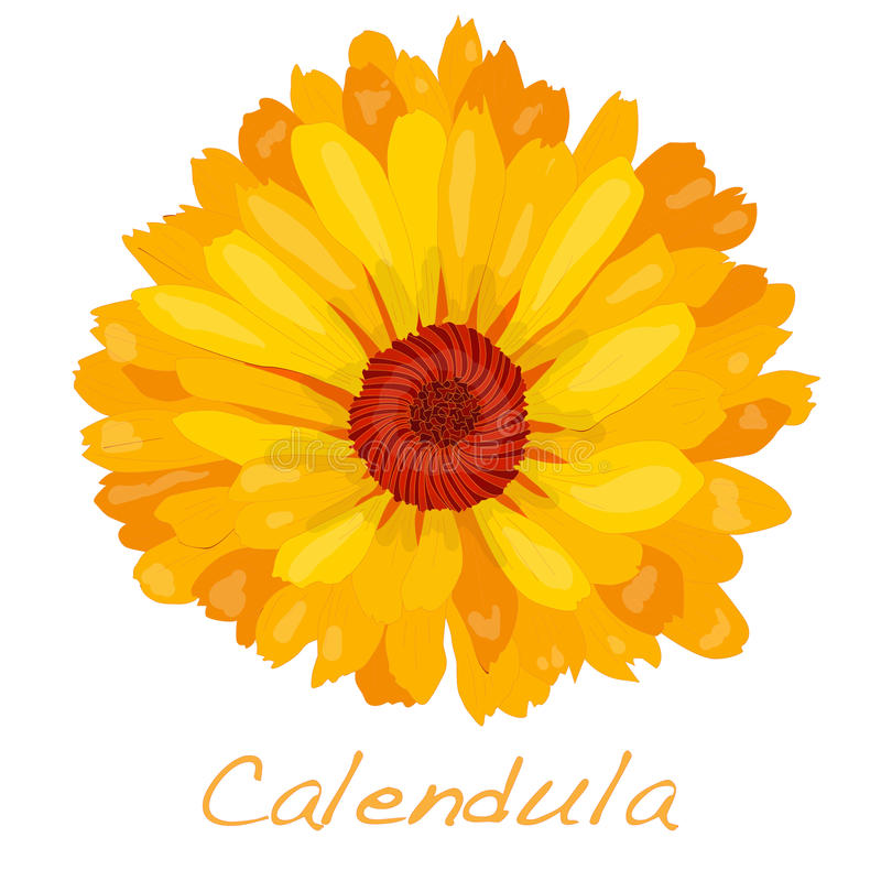 Download Calendula Vector Illustration Stock Vector - Illustration of herb, color: 83713824