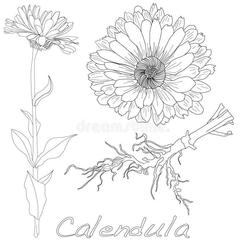 Download Calendula Vector Illustration Stock Vector - Image: 83713837