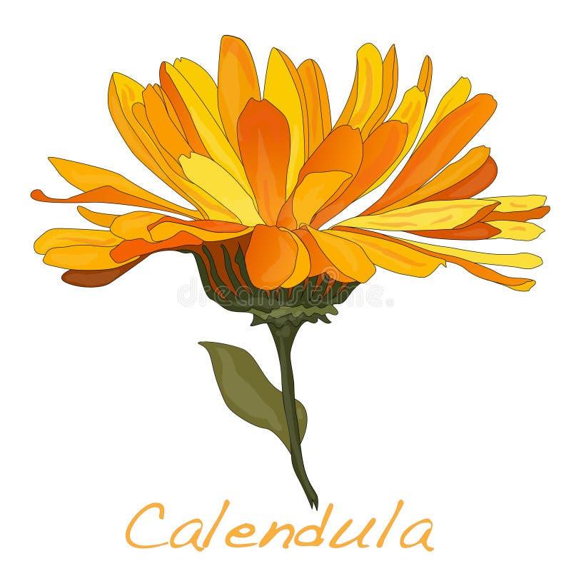 Download Calendula Vector Illustration Stock Vector - Image: 83714915