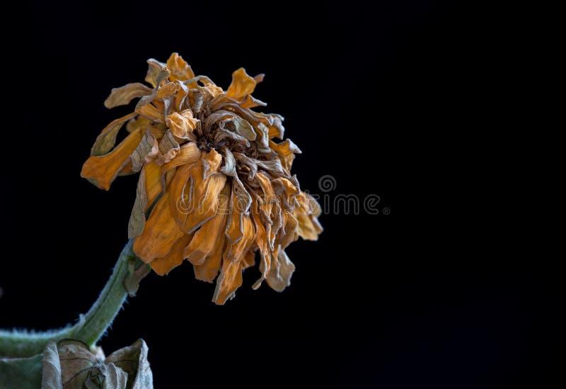 Calendula vissnad blomma Begrepp av nostalgi som är melankoliskt och royaltyfria bilder