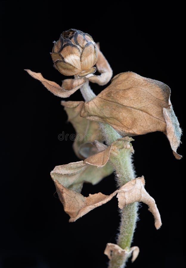 Calendula vissnad blomma Begrepp av nostalgi som är melankoliskt och arkivbild