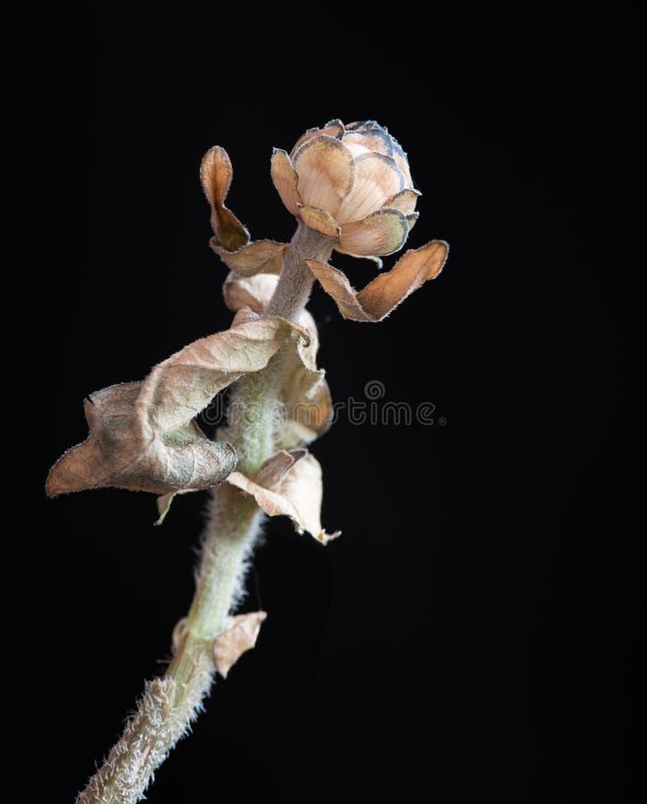 Calendula vissnad blomma Begrepp av nostalgi som är melankoliskt och arkivfoto