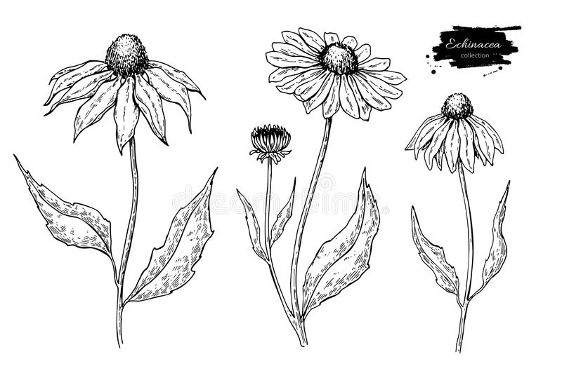 Calendula wektoru rysunek Odosobniony medyczny kwiat i liście Ziołowa grawerująca stylowa ilustracja royalty ilustracja