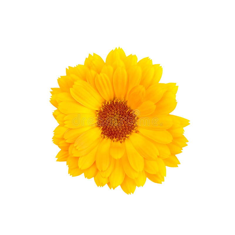 Calendula on a white background. Orange flower of a calendula on a white background stock photos