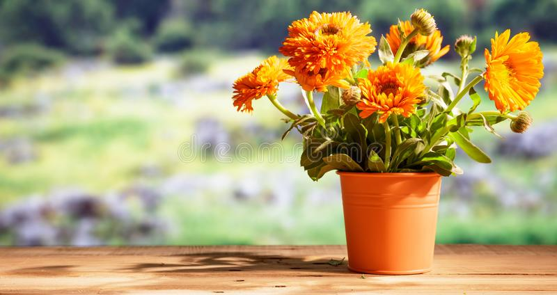 Calendula on wooden table, blur nature background, copy space, banner. Calendula, pot marigold on wooden table, blur nature background, space for text, banner stock images