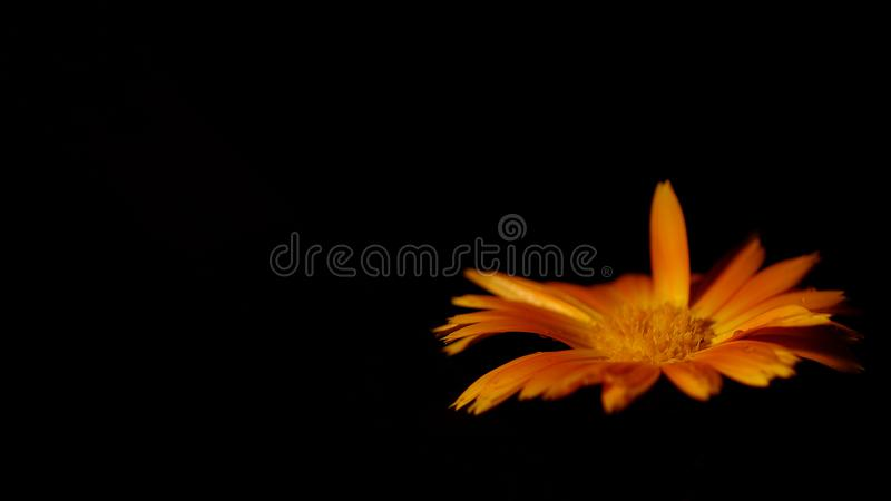 Calendulabloem die op zwarte achtergrond drijven stock fotografie
