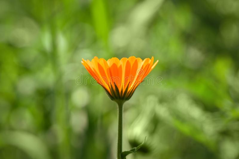 Calendulablomma p? gr?n bakgrund Ljus härlig orange blommaringblommacloseup på en sommardag Naturgräsplansommar arkivbilder