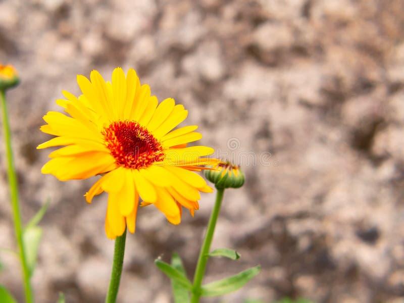 Calendulablumenabschluß oben, Kopie spase lizenzfreie stockfotografie
