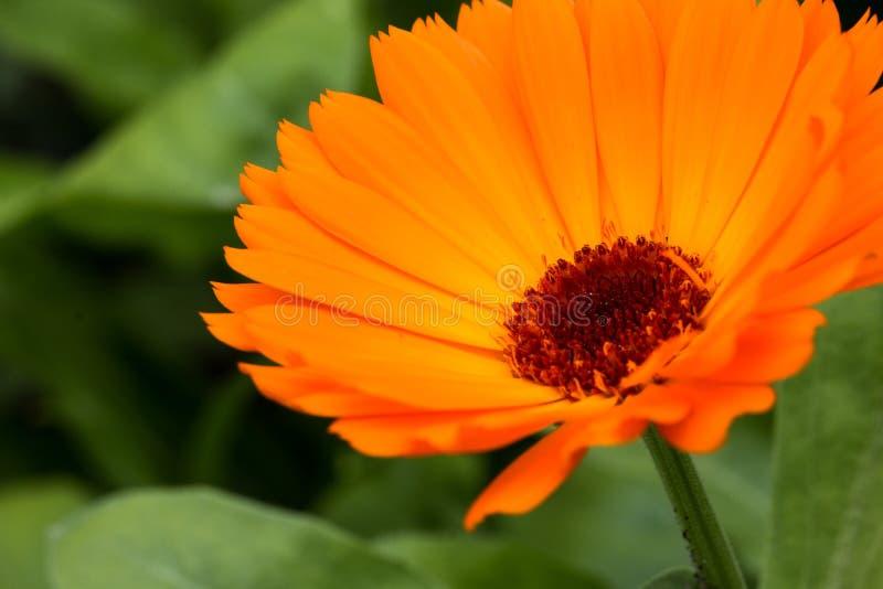 Calendulaen är ett släkte royaltyfria foton