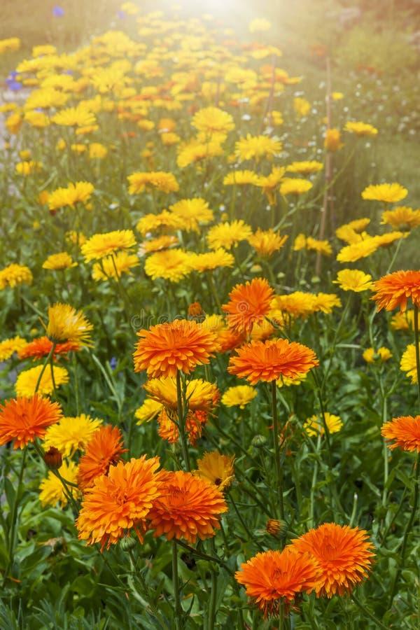 Calendulaen blommar i trädgård royaltyfria bilder