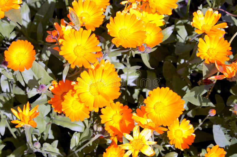 Calendulaen blommar i trädgården arkivbild