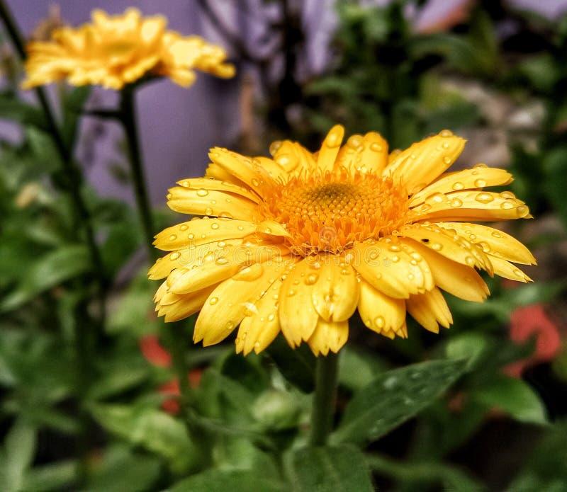 Calendulaofficinalis med vattendroppar fotografering för bildbyråer