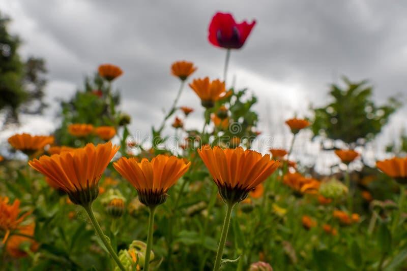 Calendulas und Mohnblumen lizenzfreie stockbilder