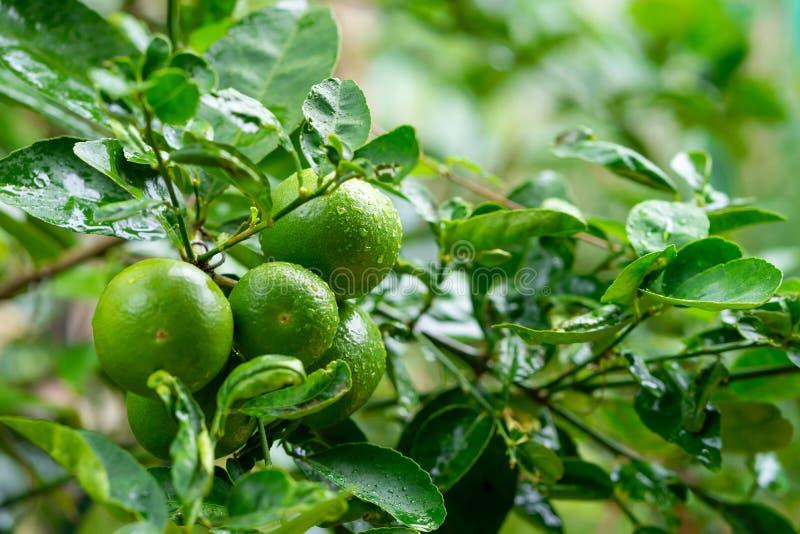 Cales verdes en un árbol fotos de archivo
