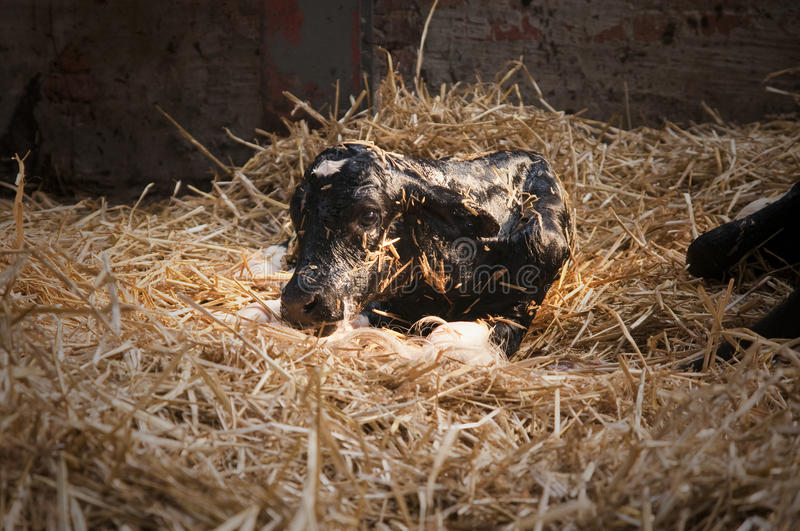 Download Calf stock photo. Image of domestic, cattle, straw, calf - 12024744