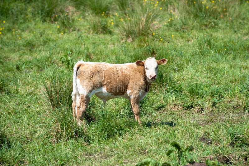 Download Calf stock image. Image of calf, young, bull, cattle - 14725799