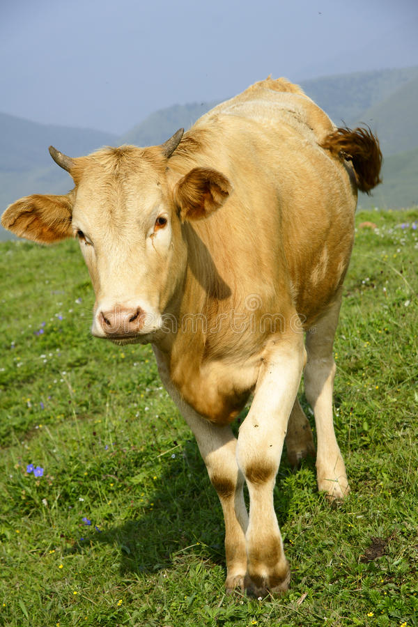 Download Calf stock photo. Image of grass, mountains, mountain - 20483406